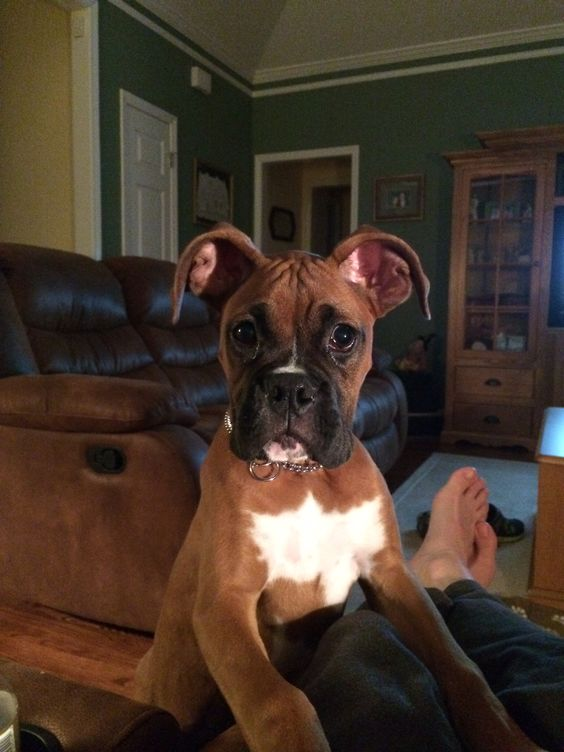 """""""What did you say?!  You want to take me for a walk?!""""  (boxer)"""