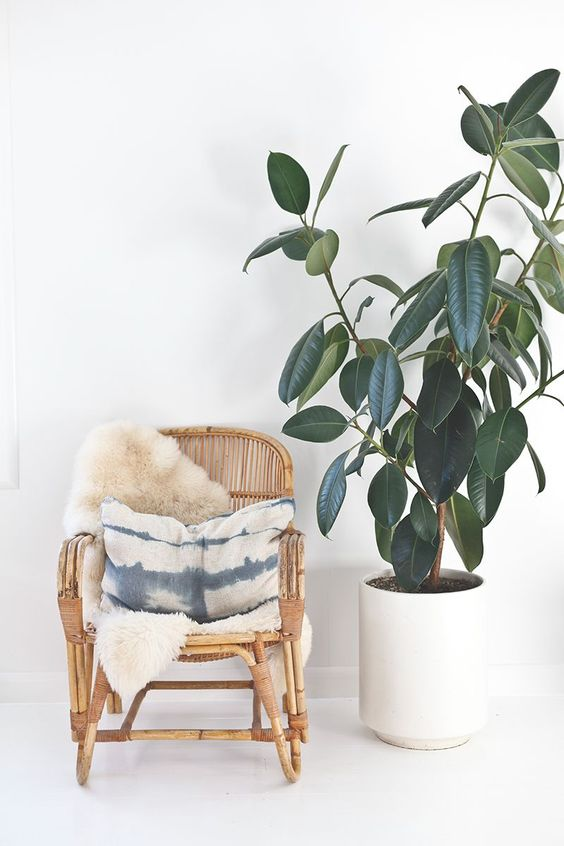 The Rubber Tree |  The Rubber tree is part of the Ficus family. With is broad glossy leaves is a real beaut. Keep near a window for bright, filtered light. Away from a draughty door, and make sure you let it dry out a little between waters.  I also tend to use a damp cloth to wipe any dust off the leaves every few months.