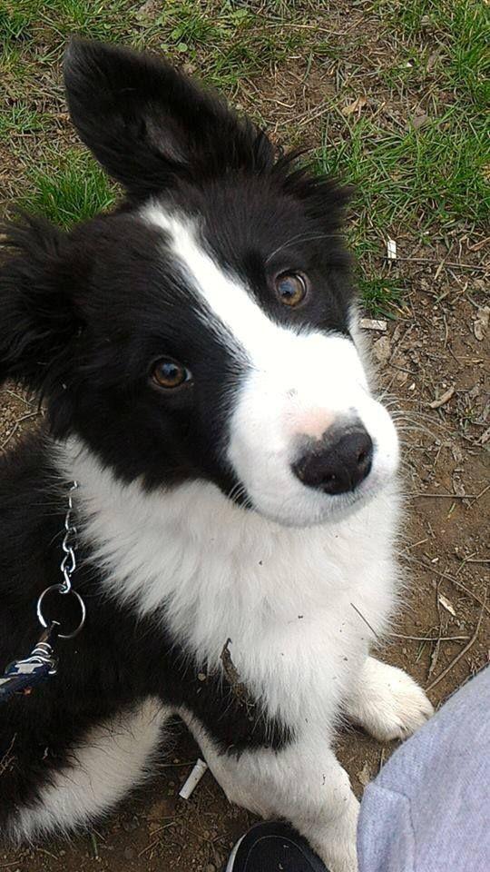 Border Collie Collie Dog Border Collie Dog Collie Puppies