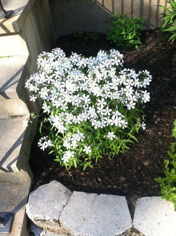 White Woodland Phlox In My Front Yard Full Sun Raised