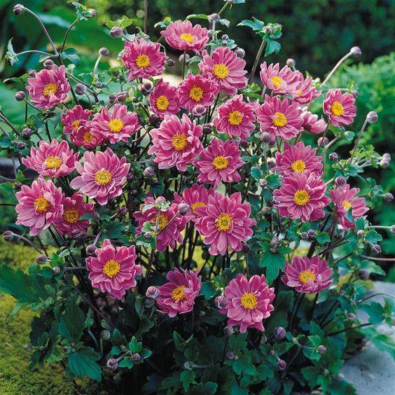 Anemone hybrida Pamina - 1 plant