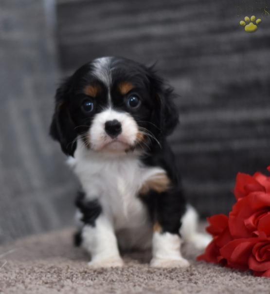 Poppy Cavalier King Charles Spaniel Puppy For Sale In New Concord King Charles Cavalier Spaniel Puppy Cavalier King Charles Spaniel Cavalier King Charles Dog