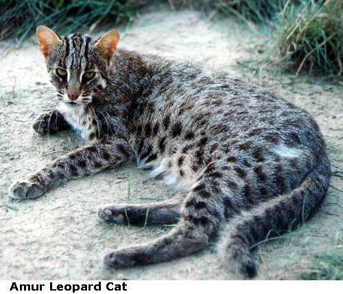 Asian leopard cat subspecies