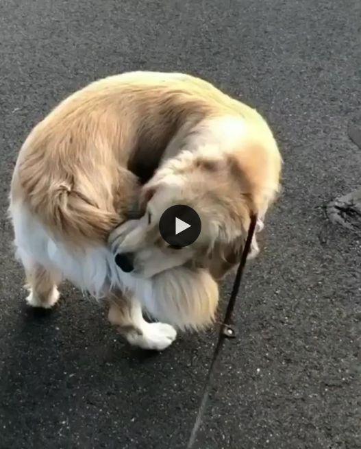 Esse cachorro ama tanto seu rabo que não o solta por nada