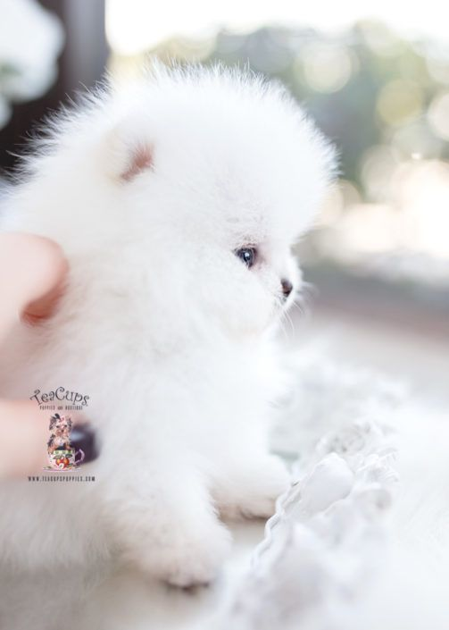 White Micro Teacup Pomeranian Puppy For Sale 096 A Cuteteacuppuppies White Micro Teacup Pomeranian Pup Teacup Puppies For Sale Pomeranian Puppy Teacup Puppies