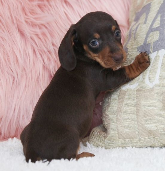 Foxy Is A Female Dachshund Puppy For Sale At Puppyspot Call Us