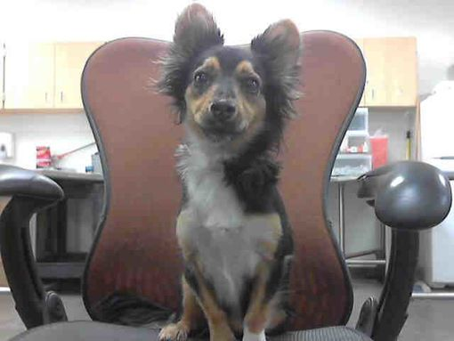 Phoenix Az Chihuahua Meet Kimba A Pet For Adoption