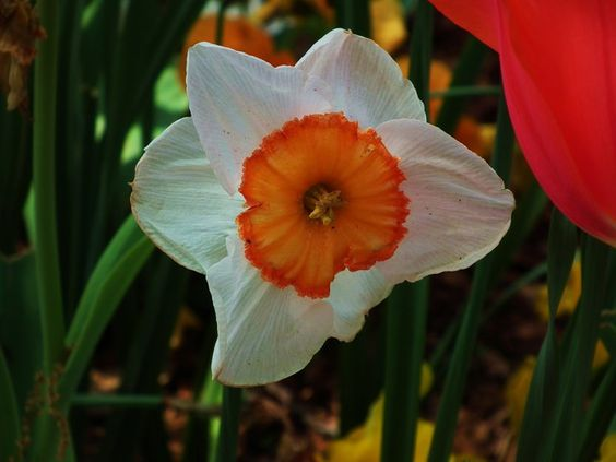 White and Orange Daffodil By Kristine Euler