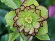 Shade Plants - 100's of new Heucheras, Hostas, Hardy Ferns, Shade Ground Covers, Hydrangeas & Shade Perennials.