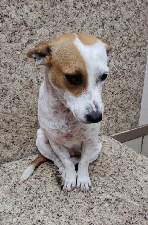 Ruby Is An Adoptable Dog Jack Russell Terrier Chihuahua Mix