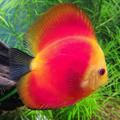 Red Discus Fish For Sale Online Jack Wattley Discus In 2020 Discus Fish Discus Fish For Sale