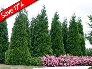 Green giant thuja hedge plant fast growing evergreen for Ornamental grasses that stay green all year
