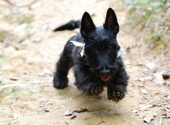 Scottish Terrier Puppy: