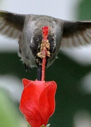 Hummingbirds pollinate flowers as the feed, transferring the pollen on their heads and beaks. Black-Chinned Hummingbird photo by The Zen Birdfeeder