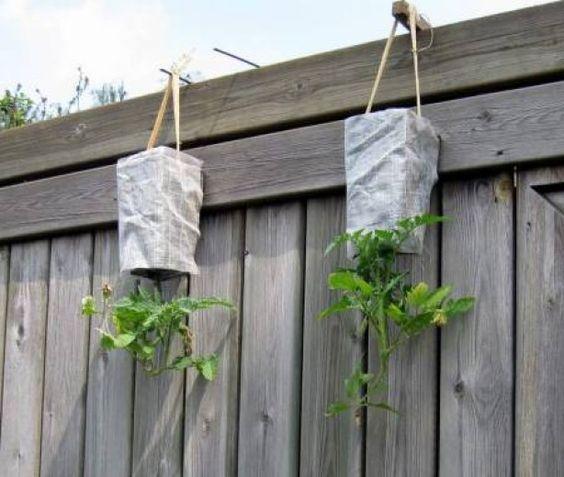 tomaten kweken in hangende pot