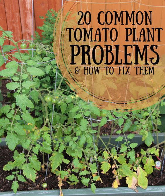 common houseplant problems 20 common tomato plant problems and how to fix them garden pictures tomato