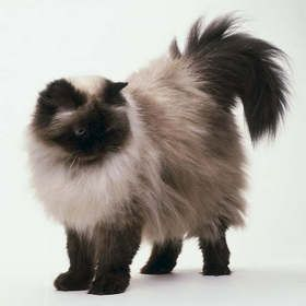 Seal Point Himalayan - This is what we thought Samson was for years until I realized he was a Seal Point Ragdoll due to the ragdoll flop and going limp in our arms. They look exactly alike with the point color, silky long hair, and blue eyes.