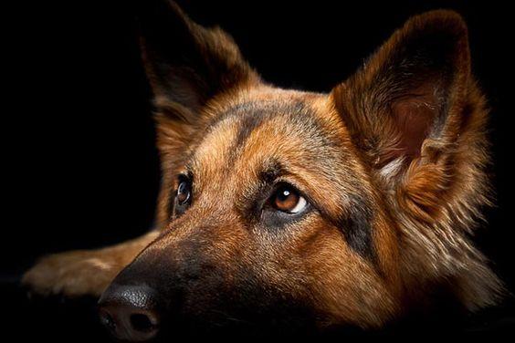 Shepherd Belga Malinois Dogs