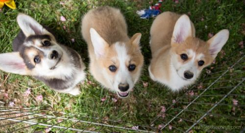 capitalcorgi:  Great pic of Wksi's brother and two sisters last year when they were all pupsters.  Looking back now I can see the family resemblance (eyebrows/face/grin).  Looking forward to catching up with them soon!  Photo by wafflesthecorgi  OMG ITTY BITTY CORGI BABIES!!!