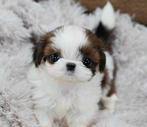 Quality Teacup Shih Tzu Puppies For Sale Shihtzu Shih Tzu Puppy Shih Tzu Dog Puppies