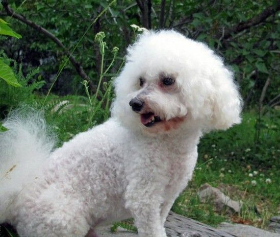 My little bichon. May he rest in peace.
