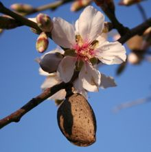 how to grow beach almond tree