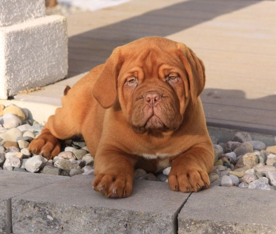 french mastiff pup dogue de bordeaux pinterest cas french and 16 weeks. Black Bedroom Furniture Sets. Home Design Ideas