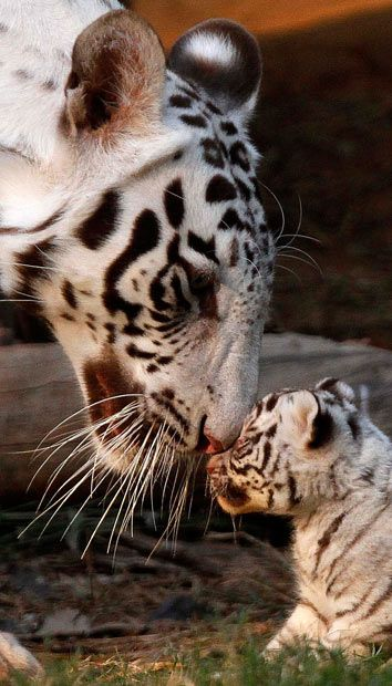 Khushi, a white tigress, plays with one of her three newborn cubs at the state zoological park in Gauhati, India