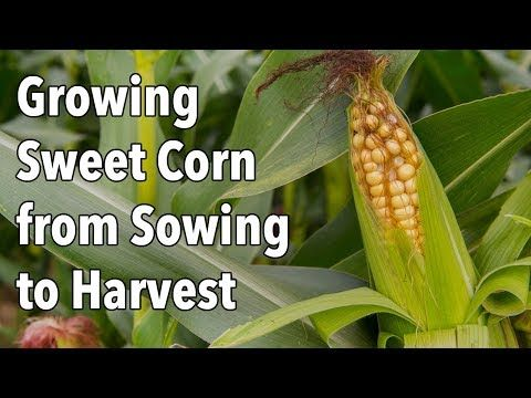 Expert Advice On How To Grow Sweet Corn From Sowing The Seeds