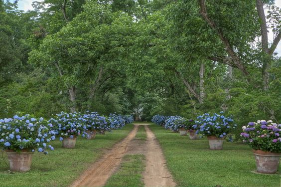Unpaved driveway lined with potted blue hydrangeas - Furlow Gatewood's home in Americus, Georgia: