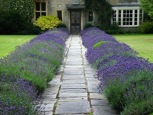 Lavender and topiary front garden