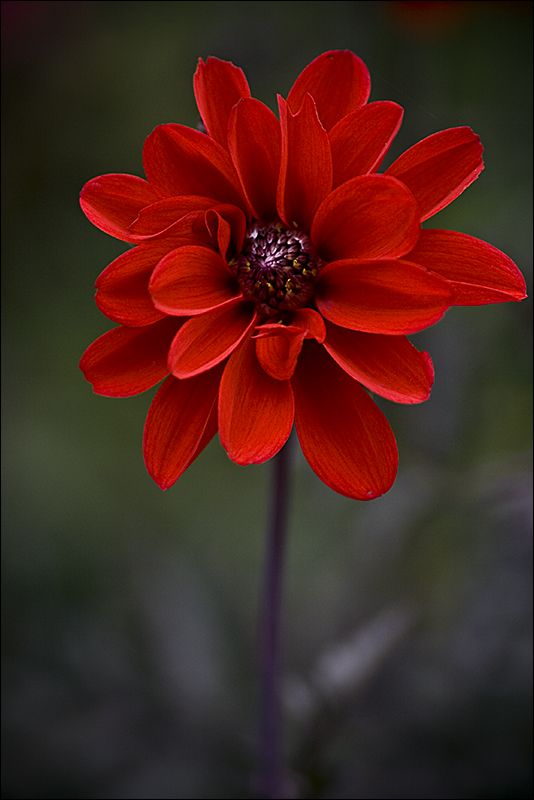Red Dahlia Dahlia is a genus of bushy, tuberous, herbaceous perennial plants native to Mexico, Central America, and Colombia. Scientific name: Dahlia Rank: Genus Higher classification: Coreopsideae: