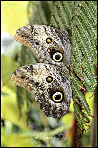 the awesome owl butterfly