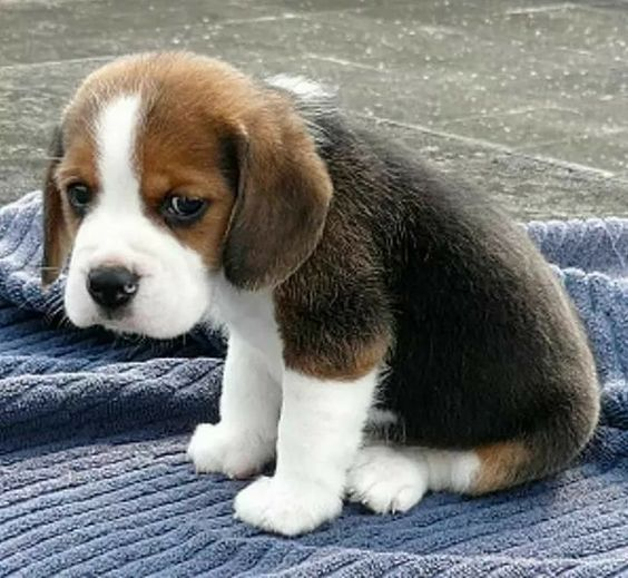 Stop Sharing Social Media Posts Of Dogs Crying Beagle Puppy