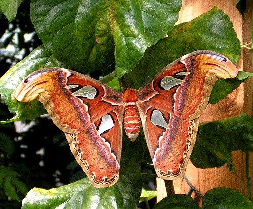 Scary Insect, Giant Atlas Moth.