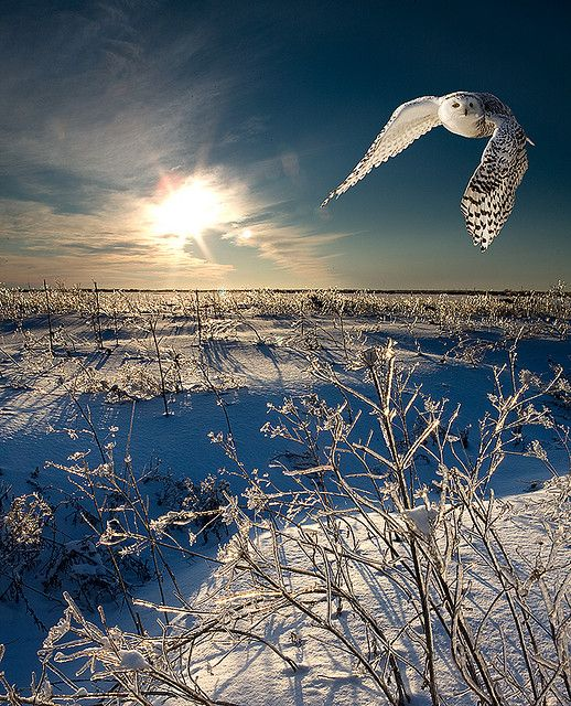Snow owl in flight/buho nival en vuelo, Canada