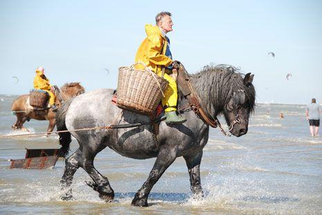 Shrimp Fishing on a Brabant (Belgian) heavy draft horse, Oostduinkerke, Belgian coast.