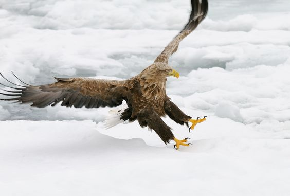 Skid - Sometimes even the sharp nails of a White-tailed Eagle aren't enough to get a hold on the slippery ice at Nemuro Strait a few miles Northeast of Ruasu on Hokkaido, Japan.  Best wishes and have a nice day,  Harry