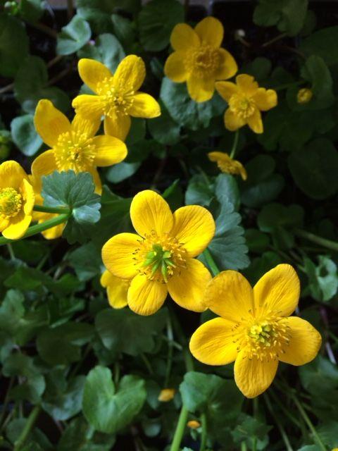 Cowslip Or Marsh Marigold Caltha Palustris With Images Marsh Marigold Flowers Perennials Perennials