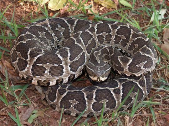 As 10 Cobras Mais Venenosas Do Brasil Cobra Urutu Cruzeiro