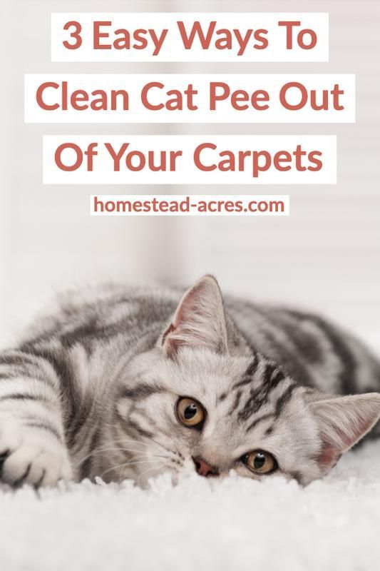 How To Get Cat Pee Smell Out Of Your Carpet Cat Pee Smell Cat