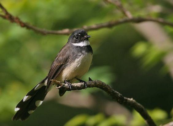 Pied Fantail: Rhipidura Javanica, Pied Fantail, Birds Xvii