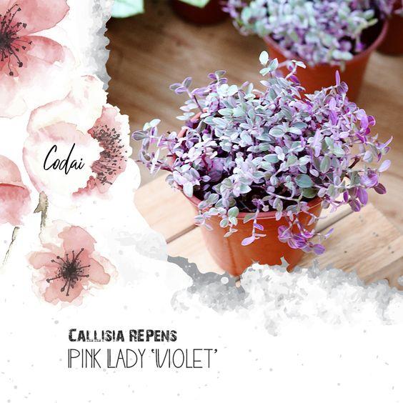 Cây Callisia repens Pink Lady 'Violet' – Pink Lady Roselings 'Violet'  – Thài Lài Mini Pink Lady 'Violet'