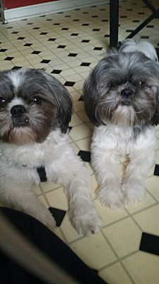 Greensboro Nc Shih Tzu Meet Tyson And Sebastian A Dog For