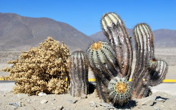 Desert cacti google search cactus pinterest desert for Feroxcactus chile