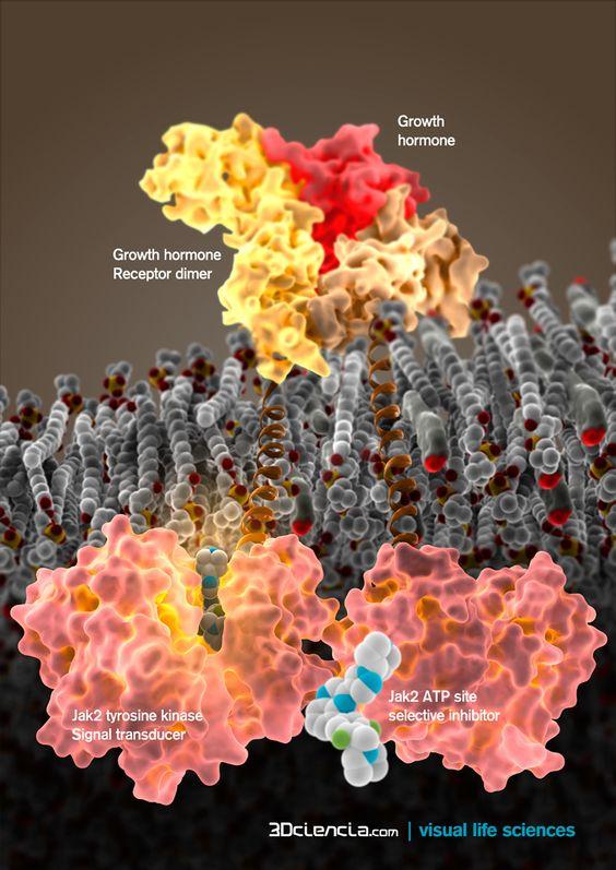 GHRc growth hormone receptor-jak2 tyrosine kinase inhibitor NVP-BSK805. Policitemia vera mutaion.