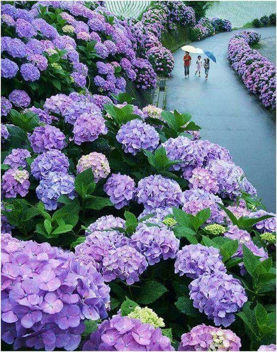 紫陽花が綺麗で美しい花畑