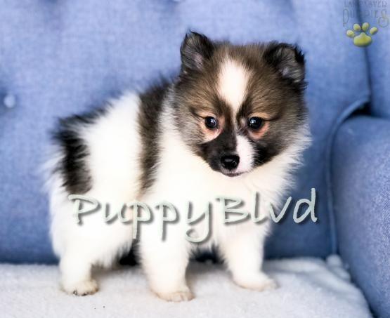 Tiger Adorable Boy Pomsky Mini Puppy For Sale In Hudson