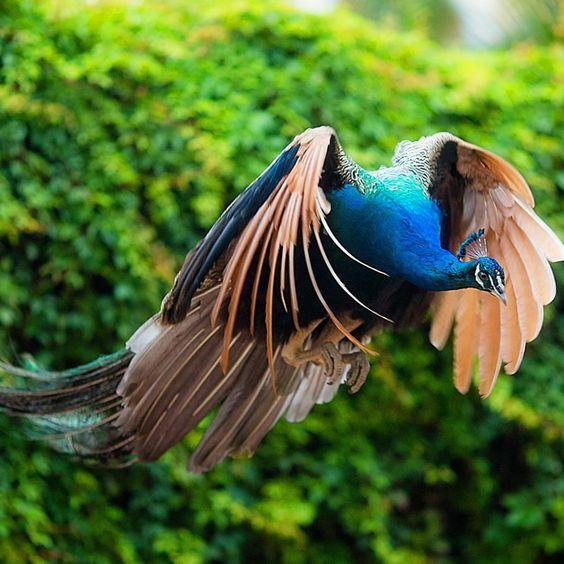 Imagenes de pavos hermosos imagenes de aves pinterest pavo real - Fotos de un pavo real ...
