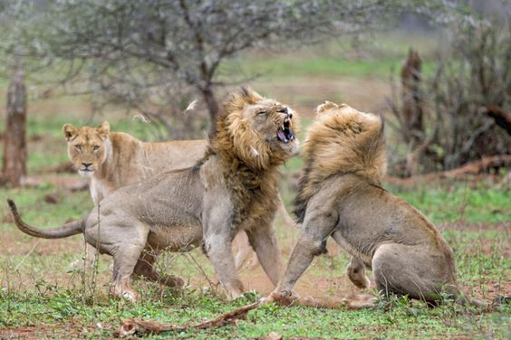 Lion fight club: Dramatic pictures show brawling lions in a vicious fight to the death because one horny lion got interrupted during a steamy morning romp: